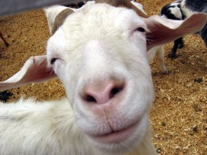Smiling_Goat_by_serpentesse